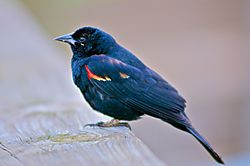New_Red_Winged_Blackbird_-jpg_.jpg