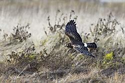 Northern_Harrier_Fir_Island.jpg