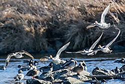 Northern_Pintail_Duck_South_Platte_River_Trailhead_Pk_Thornton_Co_January_03_2014_JG0_9086.jpg