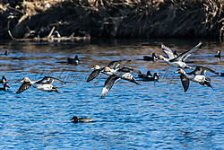 Northern_Pintail_Duck_South_Platte_River_Trailhead_Pk_Thornton_Co_January_03_2014_JG0_9098.jpg