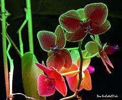 Orchid_98_S4.JPG