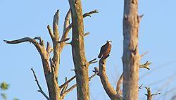 Osprey-Dead_Tree-jpg_LG_FINE.jpg