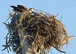 Osprey-NEW_EDIT-FULL_NEST.jpg