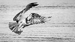 Osprey_along_the_James_River-_Mono-1.jpg