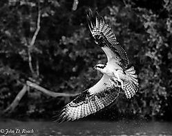 Osprey_along_the_James_River-_Mono-2.jpg