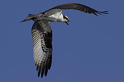 Osprey_in_flight3.jpg