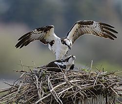 Osprey_time_for_romance_Everett_WA_41518.jpg