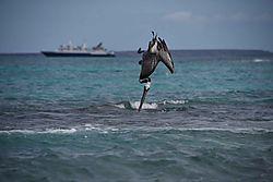 Pelican_Diveing.jpg