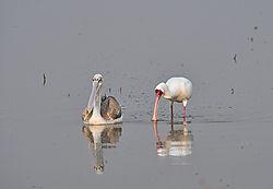Pelican_Spoonbill.jpg