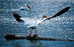 Pelican_Windsor_Taking_Off.jpg