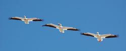 Pelicans_Cherry_Creek_3_flying.jpg