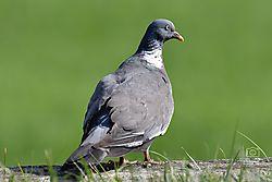 Pigeon6.jpg