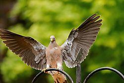 Pigeon_Angel.jpg