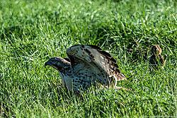 Prairie_Dog_Red-Tailed_Hawk_Thornton_Co_September_03_2013_JG0_4993.jpg