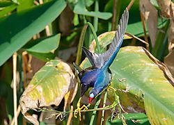 Purple_gallinule_FULL.jpg