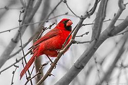 Red_Cardinal_San_Antonio_Tx_March_05_2014_JG1_0595.jpg