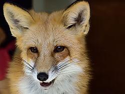 Red_Fox_4184.jpg