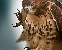 Red_Tailed_Hawk-62.jpg