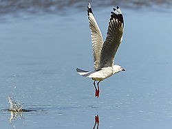 Sea_gull_stretched_high-Edit-Edit.jpg