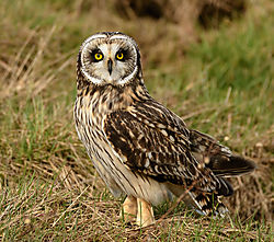 Short_eared_owl.jpg