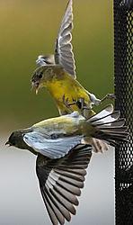 Showdown_at_the_feeder.jpg