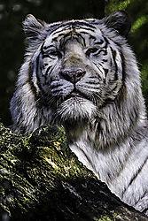 Siberian_Tiger-2.jpg