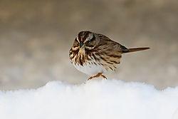 Song_Sparrow4.jpg
