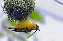 Spekes_Weaver_Bird.jpg