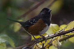 Spotted_Towhee_D3S9927_1_of_1_.jpg