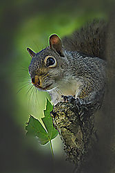 Squirrel_6-6-12_sm.jpg