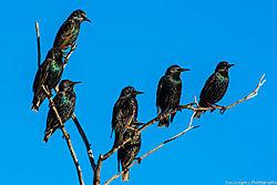 Starlings_Rocky_Mtn_Arsenal_Co_December_31_2013_JG0_8694_.jpg
