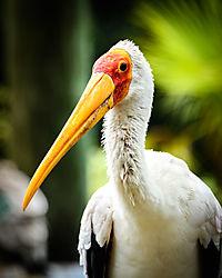 Stork_Portrait.jpg