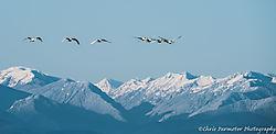 Swans8.jpg