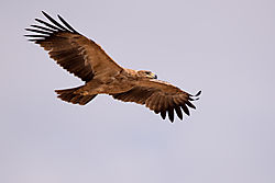 Tawny_eagle_Kghalaghadi_national_park.jpg