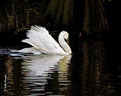 The_Swan.JPG