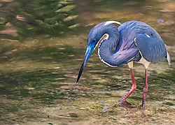 Tricolored_Heron1.jpg