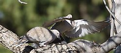 Turtle_Dove_May_1st_cropped_sized_N.jpg