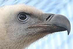 Vulture_Knutsford.JPG