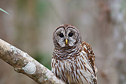 Wakulla_Barred_Owl.jpg