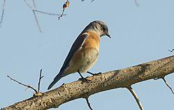 Western_Bluebird.jpg