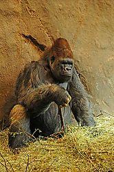 Western_Lowland_Gorilla.jpg