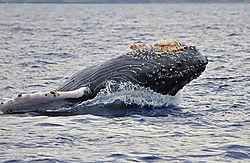 Whale-Breach-71.jpg