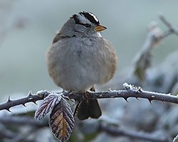 White-crowned_Sparrow_DSC_3677_1_of_1_.jpg