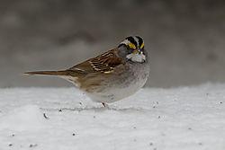 White-throated_sparrow1.jpg