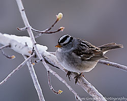 White_Crowned_Sparrow_Thornton_Co_May_02_2013_JG0_1269-Edit_Tiff_Gaussen_Lens_glass_2_.JPG
