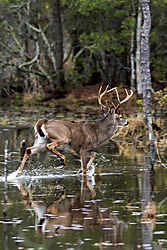 Whitetail_Buck_in_the_Water.jpg