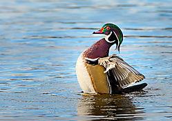 Wood_Duck-.jpg