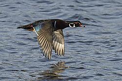 Wood_Duck_Drake_in_flight.jpg