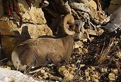 YNP_Bighorn-21.jpg