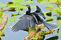 YOUNG_ANHINGA_DRIES_OFF-jpg_.jpg